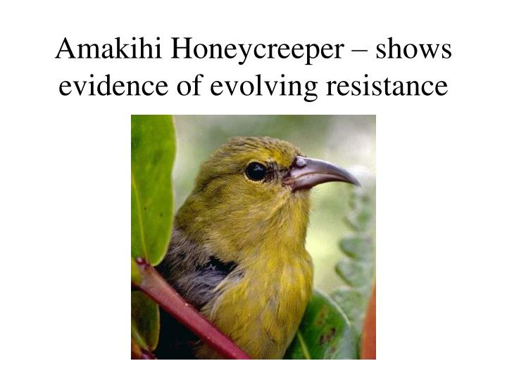 Amakihi Honeycreeper – shows evidence of evolving resistance