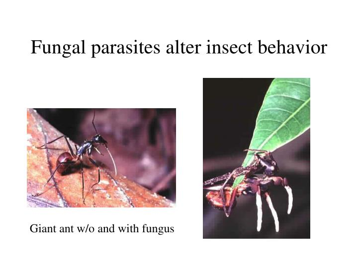 Fungal parasites alter insect behavior