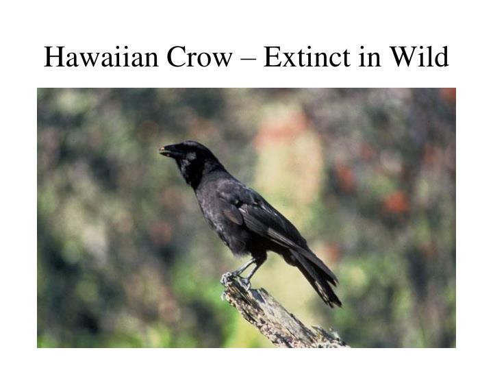 Hawaiian Crow – Extinct in Wild