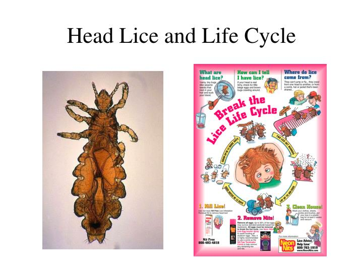Head Lice and Life Cycle