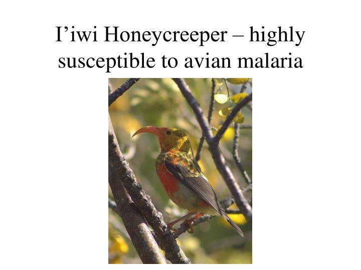 I'iwi Honeycreeper – highly susceptible to avian malaria