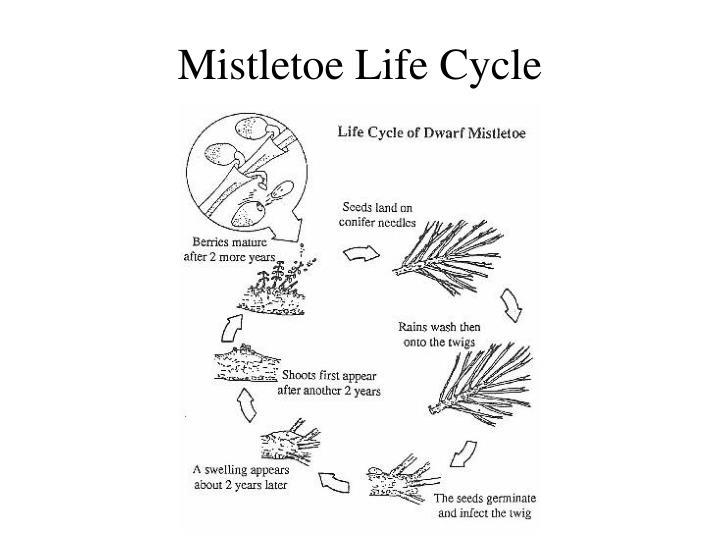 Mistletoe Life Cycle