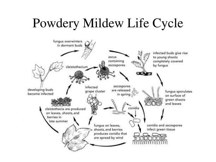 Powdery Mildew Life Cycle