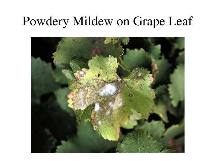 Powdery Mildew on Grape Leaf