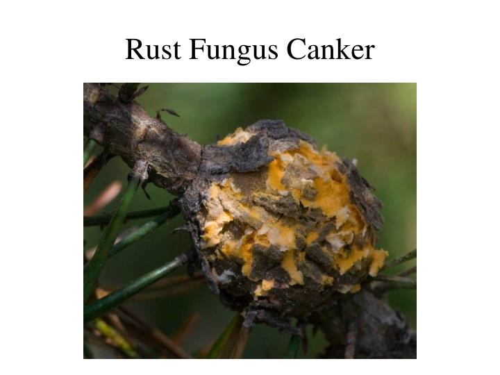 Rust Fungus Canker