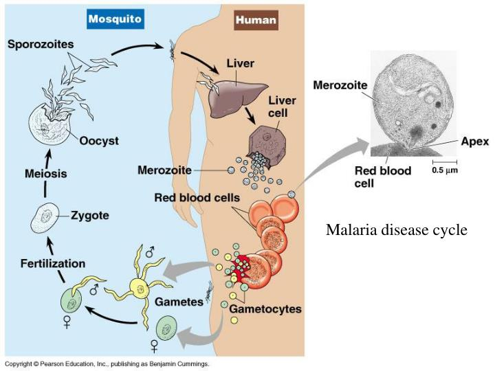 Malaria disease cycle