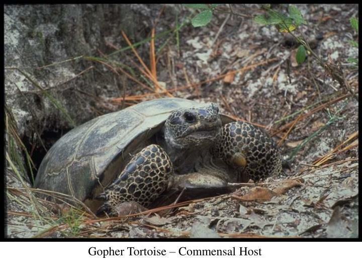 Gopher Tortoise – Commensal Host
