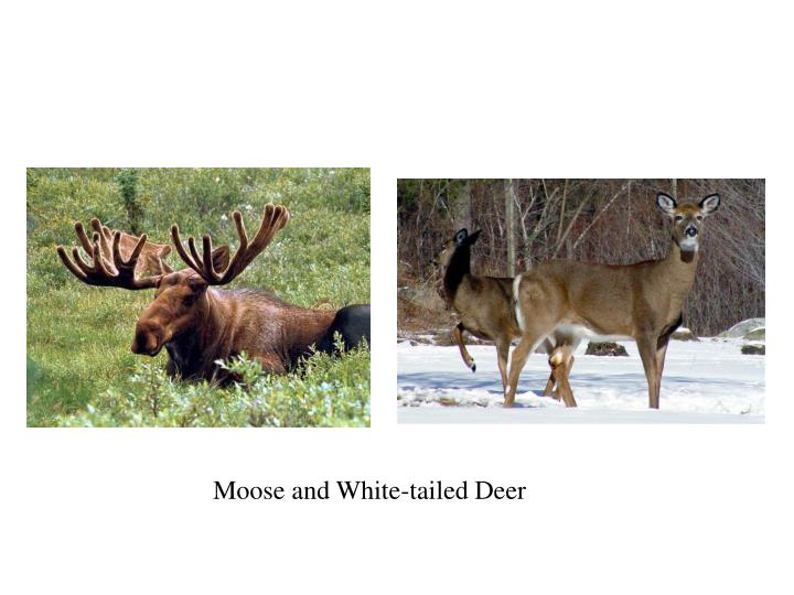 Moose and White-tailed Deer