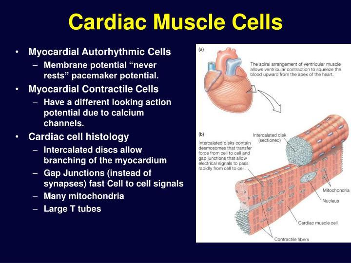 Cardiac Muscle Cells