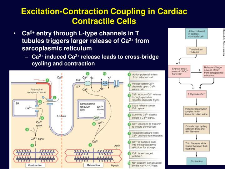 Excitation-Contraction Coupling in Cardiac Contractile Cells