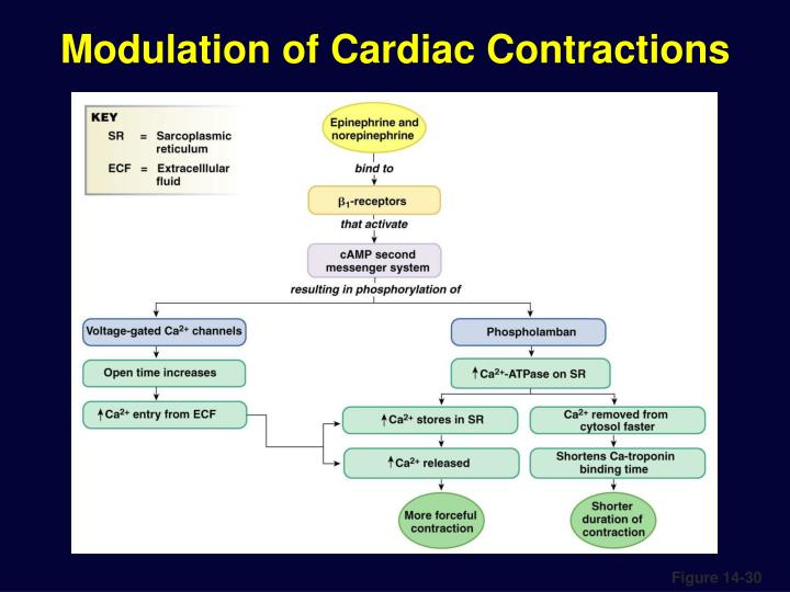 Modulation of Cardiac Contractions