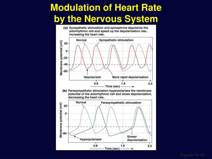 Modulation of Heart Rate