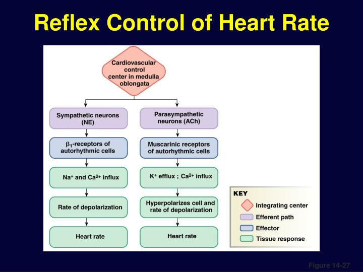 Reflex Control of Heart Rate