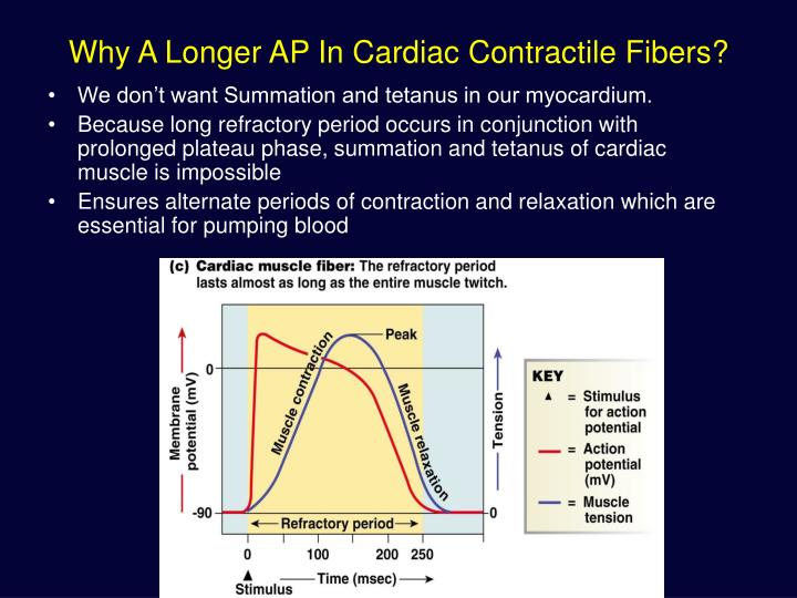 Why A Longer AP In Cardiac Contractile Fibers?