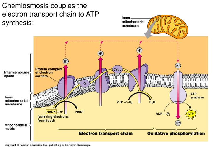 Chemiosmosis couples the electron transport chain to ATP synthesis:
