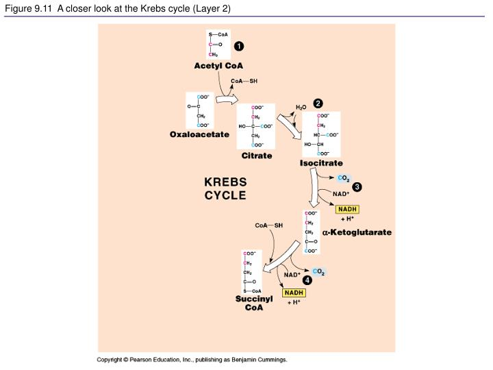 Figure 9.11  A closer look at the Krebs cycle (Layer 2)