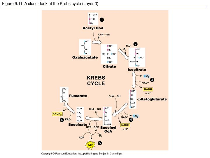 Figure 9.11  A closer look at the Krebs cycle (Layer 3)