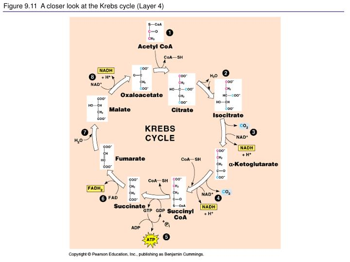 Figure 9.11  A closer look at the Krebs cycle (Layer 4)