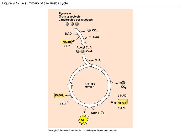 Figure 9.12  A summary of the Krebs cycle
