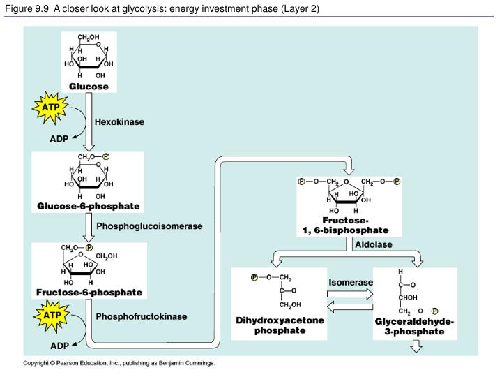 Figure 9.9  A closer look at glycolysis: energy investment phase (Layer 2)