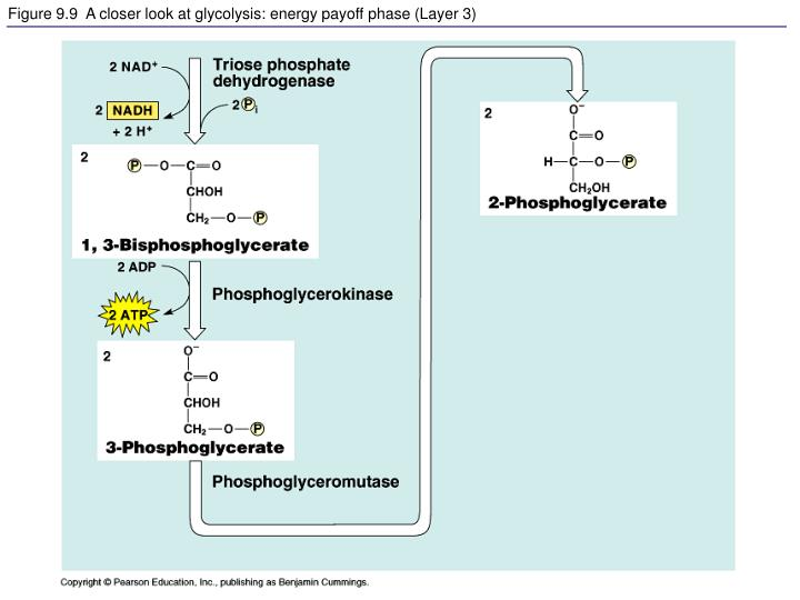 Figure 9.9  A closer look at glycolysis: energy payoff phase (Layer 3)