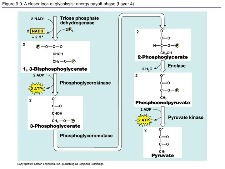 Figure 9.9  A closer look at glycolysis: energy payoff phase (Layer 4)