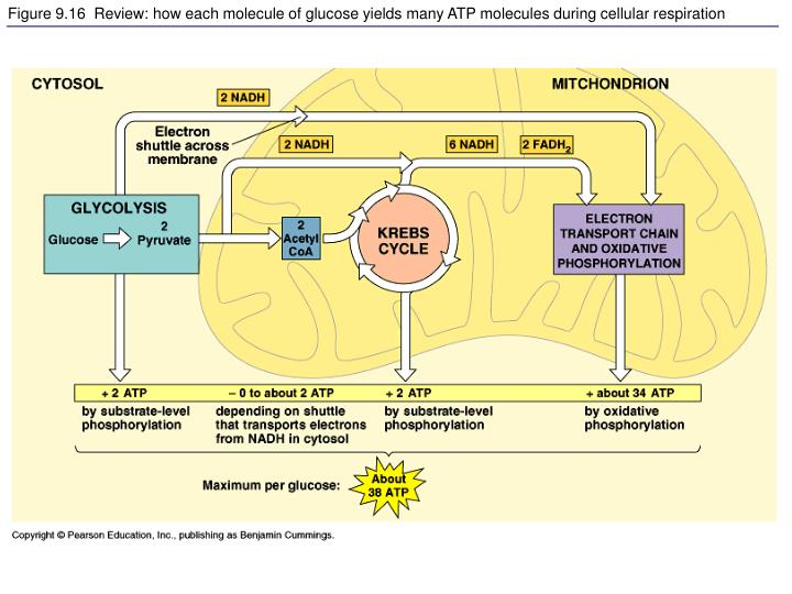 Figure 9.16  Review: how each molecule of glucose yields many ATP molecules during cellular respiration