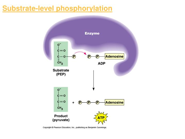 Substrate-level phosphorylation