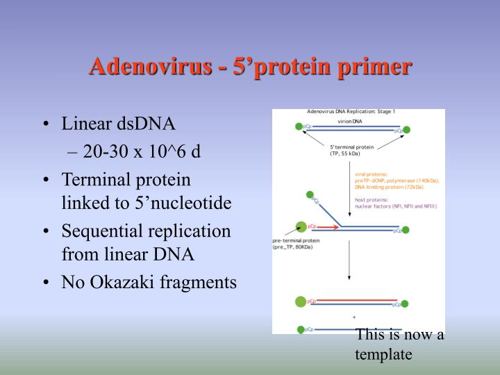 Adenovirus - 5'protein primer