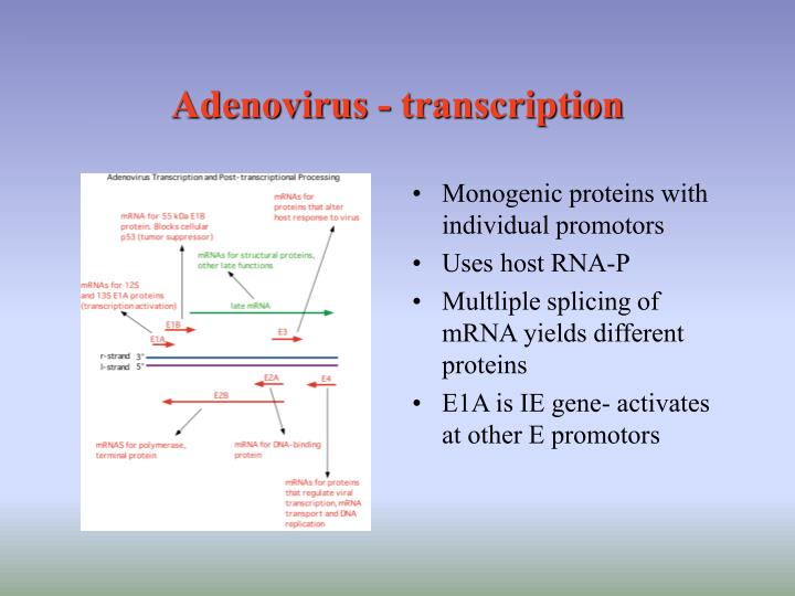 Adenovirus - transcription