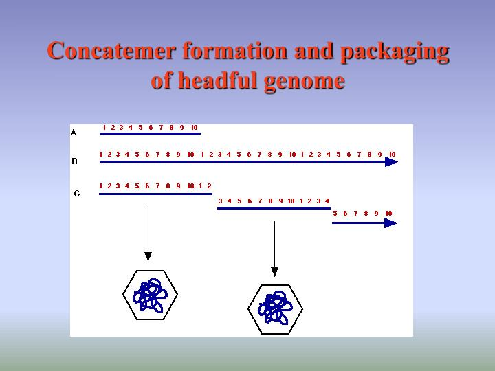 Concatemer formation and packaging of headful genome