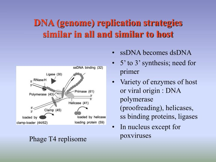 DNA (genome) replication strategies similar in all and similar to host