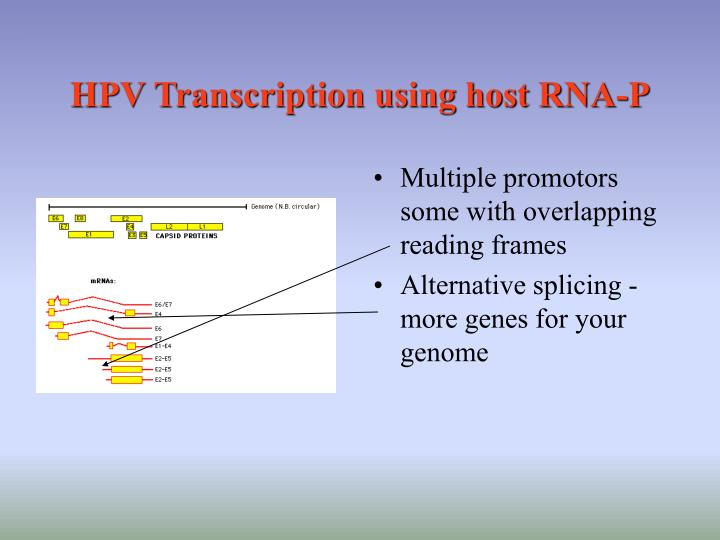 HPV Transcription using host RNA-P