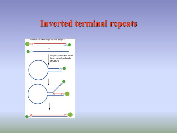 Inverted terminal repeats