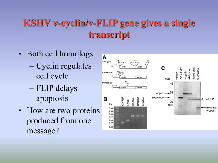 KSHV v-cyclin/v-FLIP gene gives a single transcript