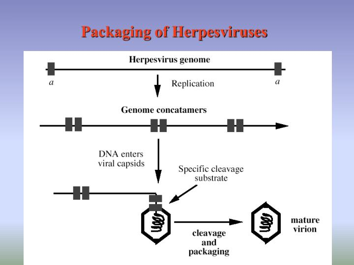 Packaging of Herpesviruses