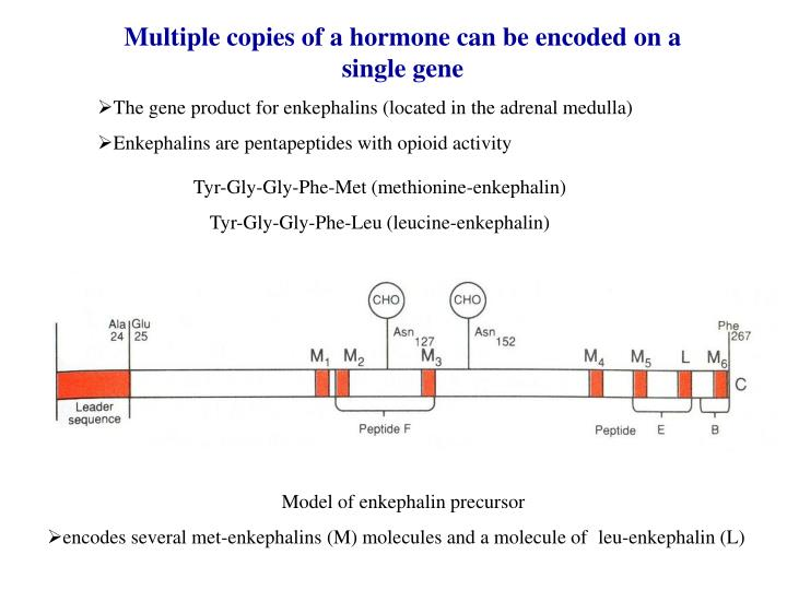 Multiple copies of a hormone can be encoded on a single gene