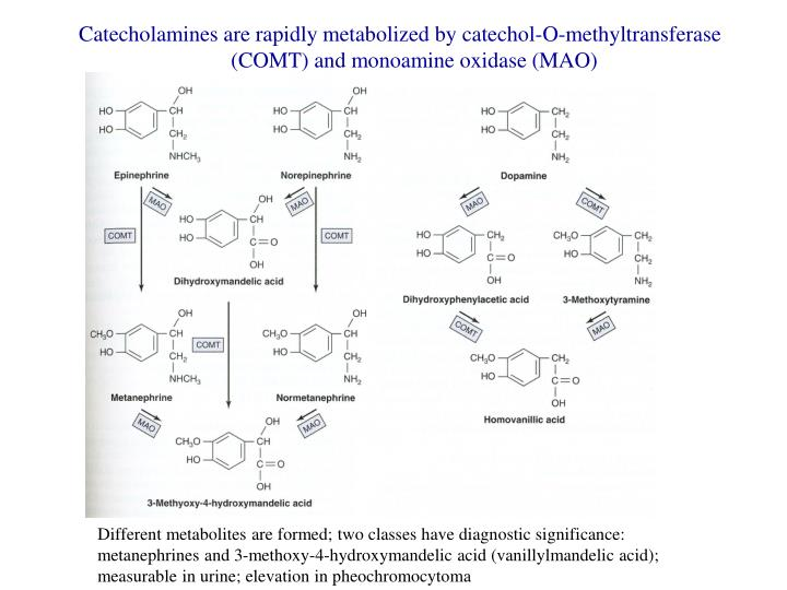 Catecholamines are rapidly metabolized by catechol-O-methyltransferase (COMT) and monoamine oxidase (MAO)