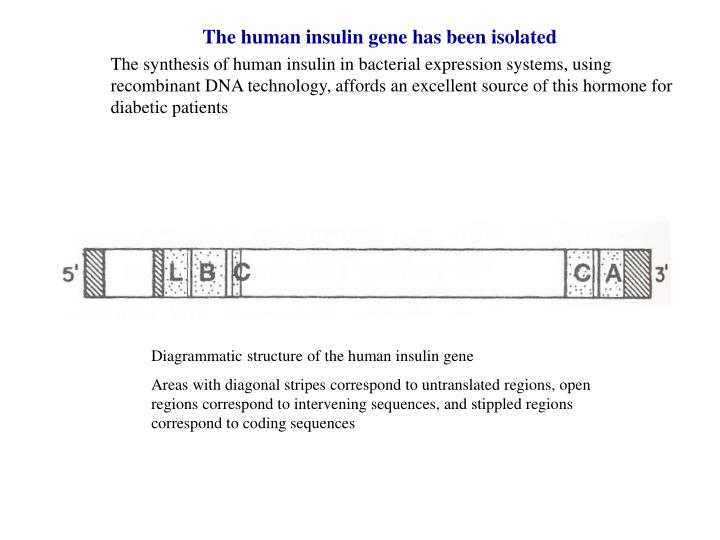 The human insulin gene has been isolated