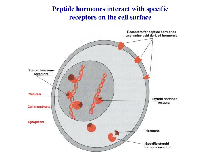 Peptide hormones interact with specific receptors on the cell surface