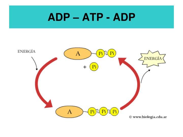 ADP – ATP - ADP