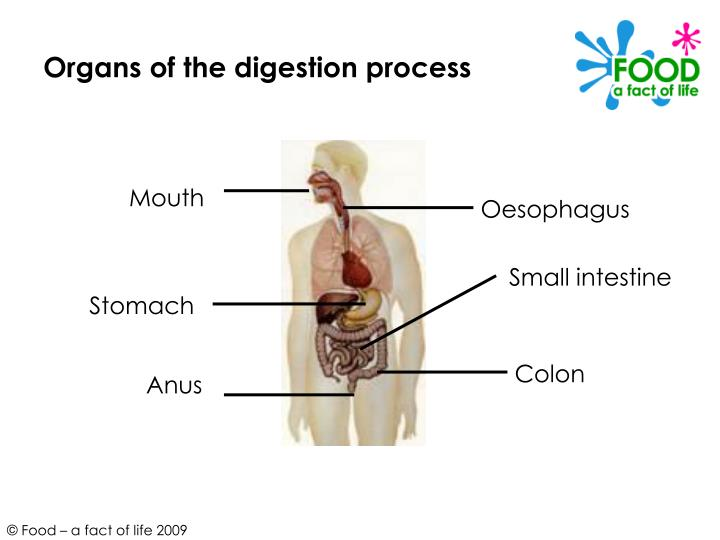 Organs of the digestion process