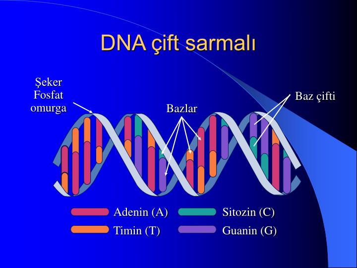 DNA çift sarmalı
