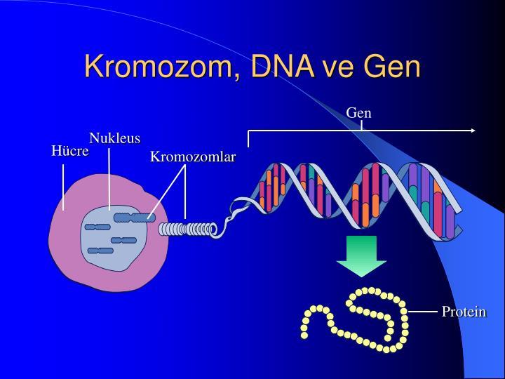 Kromozom, DNA ve Gen