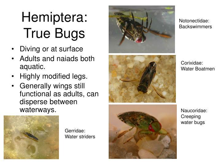 Hemiptera: True Bugs