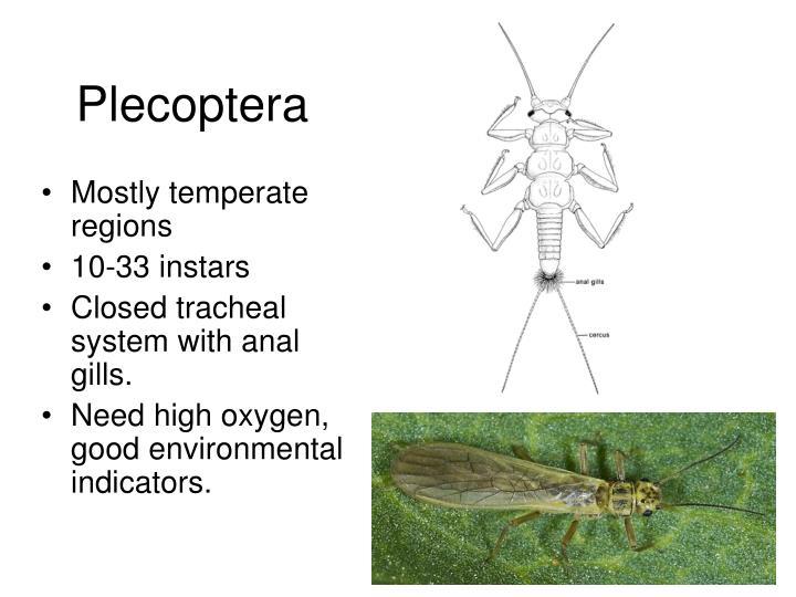 Plecoptera
