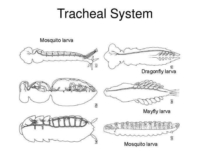 Tracheal System