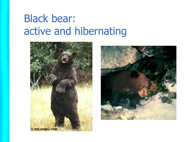 Black bear: