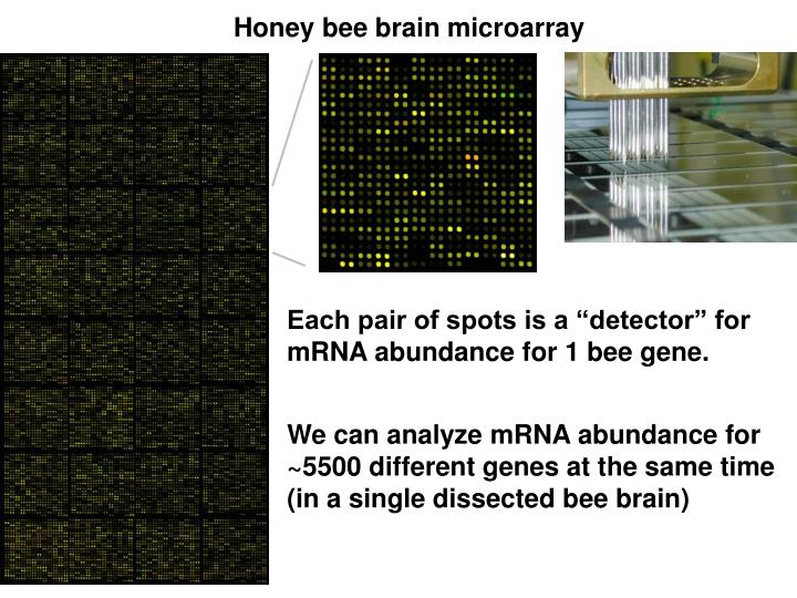 Honey bee brain microarray