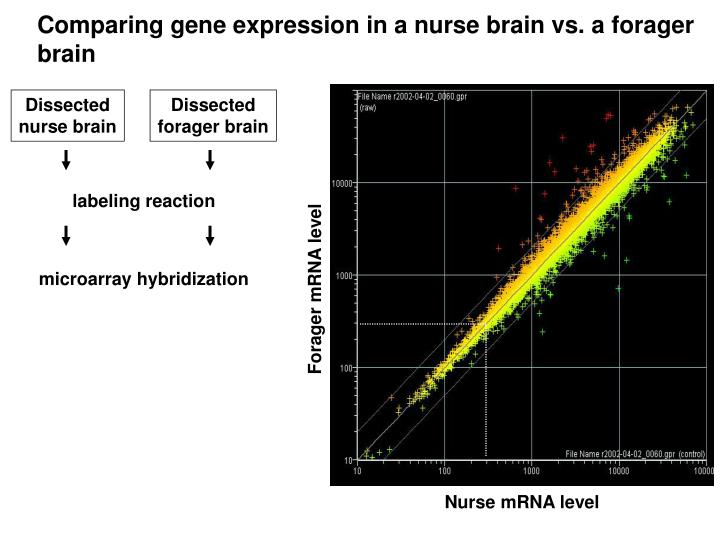 Comparing gene expression in a nurse brain vs. a forager brain
